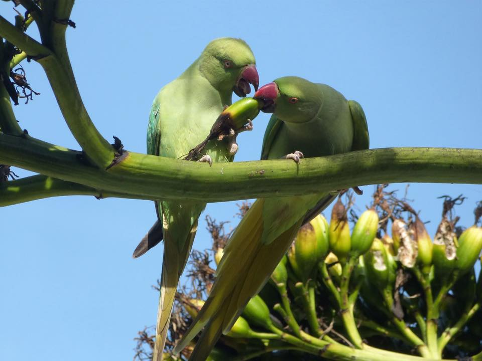 Parakeets. Credit Janice Dadds